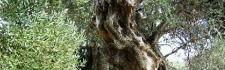 Olivenhaine von Lun
